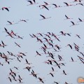 Greece, Thrace, river Evros delta. Flamingos in Nimfon salt lake