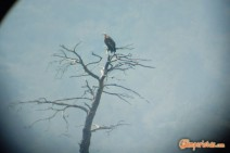 dadia_avvoltoio