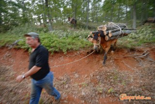 Greece, Thrace, Evros. Dadia forest, timber harvest (logging)