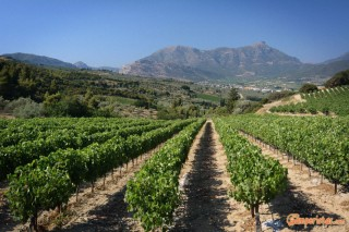 Nemea, grape vines