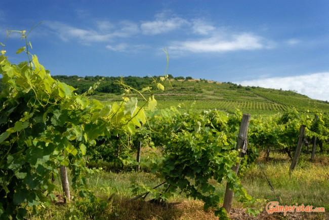 Hungary, vineyards around Tokaj town